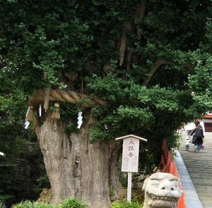 在りし頃の鎌倉・鶴岡八幡宮の大銀杏(2006年撮影)