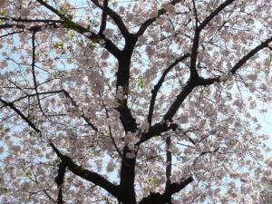 桜は今週で散ってしまいそうだ