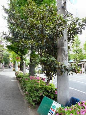 青梅街道沿いの植え込みにあったビワの木