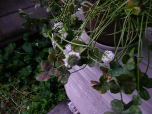 ブラッククローバの花