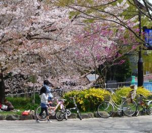 善福寺川緑地公園で花見