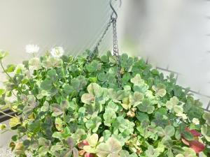 ブラッククローバーの花