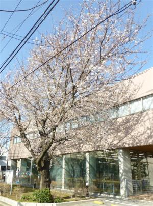 桜が早くも満開