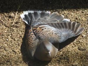 山鳩のひなたぼっこ