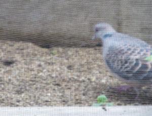 山鳩が庭に来たので動画を撮ってみた