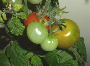 ペットマト プチトマト