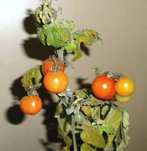 ペットマト 一部収穫