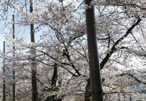桜満開(3月)